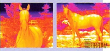 Тепловизионное обследование лошадей